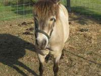 MINIATURE PONY**** $650 CALL  Location: PACE, FL.