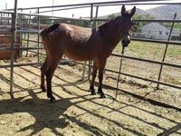 i have a great mule ready for the saddle. very strong