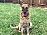 Bud's story Buddy, is a very calm and gentle GSD.