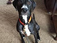Bud's story Bud is an energetic young male GSP mix who