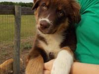 Meet Buddy, a Gorgeous Red tri Aussie. Friend has a