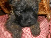 Home Raised Cairn Terrier - Buddy and brothers are