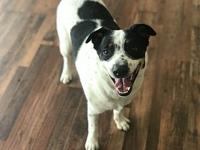 Buddy's story Buddy is a 2 year old cattle dog mix,
