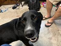My story Buddy is a male black lab mix. He is a very