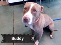 Sweet Buddy is approximately 2-3 year male.  He is a
