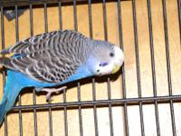 Budgie/Budgerigar - Baloo - Small - Young - Bird Please