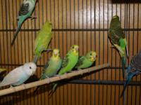 Budgie/Budgerigar - The Tweeters - Small - Young -