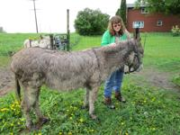 Buff, grey gelding with dark cross on back and long