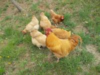 I have year old Buff Orpington Roster and 3 laying hens