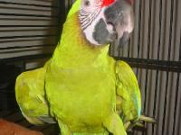 Larger cousins of the Military Macaw, these unusual