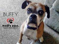 Buffy's story Buffy is a sweet 8 year old Boxer that is