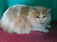 Buffy's story Buffy is a 2 year old male domestic long