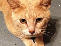 Buffy's story This young female orange tabby was