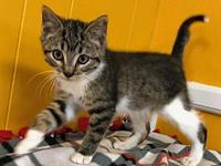 Buffy's story Buffy, Tabby and white female kitten.