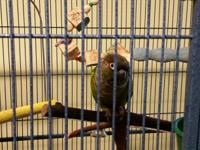 Buford is a 9 year old conure that is adventurous and