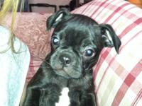 We have two beautiful little brindle girls available.