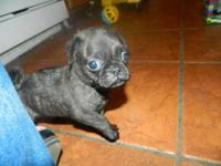 I have 2 adorable little Bug-Pugs left! We are almost