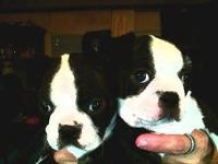 8 week old. Stunning Bug Puppies extremely loveable and