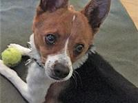 Buggles's story * Male Chihuahua mix *
