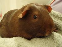 Bugsy and Rocco are senior males piggies looking for a