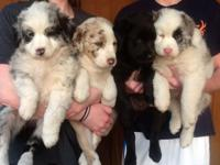 Adorable puppies. 3/4 Australian Shepherd, 1/4 English