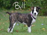 Bull's story Bull is a smart playful puppy looking for