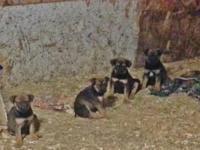 Bullweiler Female Pups 10 weeks. Dad is AKC Bull