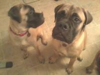 Female & Male 7 month old Bull Mastiff puppies! Want so