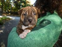Bull Pei Puppy (Bull Terrier & Sharpei) puppies
