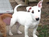 AKC registered Bull terrier male puppy 3 months old