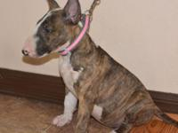 Beautiful quality brindle bull terrier nice personality