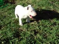 6 week old bull terrier puppy. Very smart and playful.