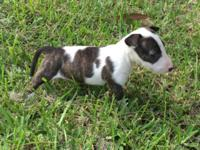 Bull Terrier Female Puppy Papers Shots Dewormed Color: