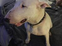 Pure bred friendly bull terrier very young and healthy