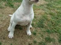 6 month old female bull terrier. She has all her Shots