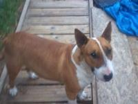 I have a female bull terrier for sale 2 years old great