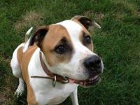 Bull Terrier - Brodie Needs You Now! - Medium - Adult -
