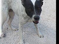 Bull Terrier - Cookie - Medium - Adult - Female - Dog
