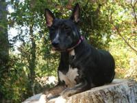 Bull Terrier - Haylee - Medium - Adult - Female - Dog