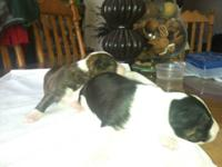 I HAVE 2 FEMALE PUPPIES FOR SALE.ONE IS A BRINDLE AND