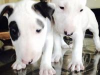 I Have 2 Full Blooded Bull Terrier Puppies for sale