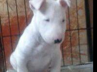 AKC registered/registerable Bull Terrier puppies with