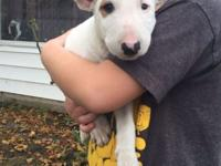 Bull Terrier male pup for sale to a good home. -Up to