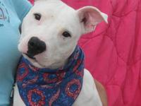 Bull Terrier - Vinnie - Medium - Young - Male - Dog