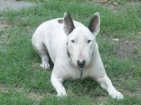 Bull Terrier - Yoda - Medium - Adult - Female - Dog