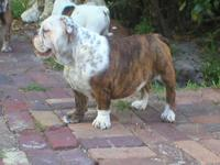 Sassy is a very active 5 yr. old Bulldog who loves to