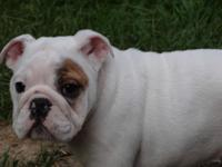 AKC Female English Bulldog available for her new home.