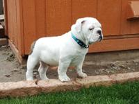 Bulldog babie looking for forever families to join.