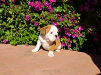 American English Bulldogge Puppies, ACK registered, Vet