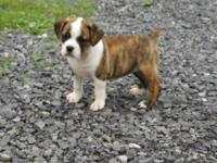 Half the Bull- Half the rate! English Bulldog sire and
